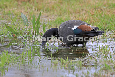 Male Paradise Shelduck (Tadorna variegata) in wetland habitat, Okarito, West Coast, South Island, New Zealand