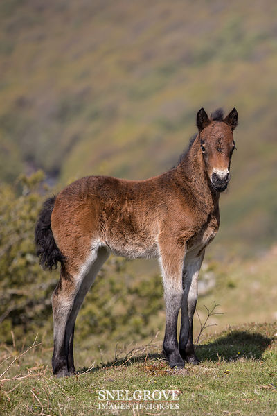 Dartmoor Pony Foal - Bench Tor - 1