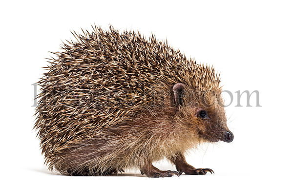 European hedgehog, Erinaceus europaeus, also known as the West European hedgehog or common hedgehog, in front of white backgr...
