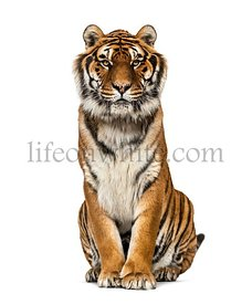 Tiger sitting looking at the camera, isolated on white