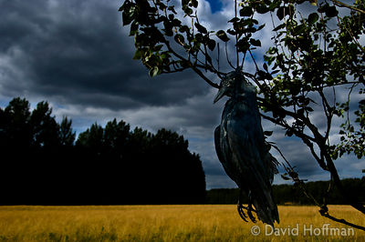 Hanged rook at field edge to frighten off rooks, crows and other birds. The original scarecrow.