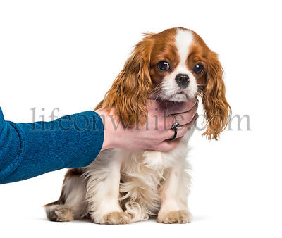 Puppy Cavalier King Charles Spaniel, dog, human hand