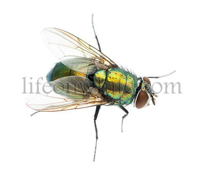 Common green bottle fly viewed from up high, Phaenicia sericata, isolated on white
