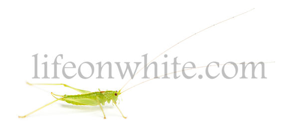 Side view of a Meconema, isolated on white