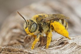 Closeup on a pollen loaded female blue eyed solitary bee , Tetraloniella alticincta in Gard, France