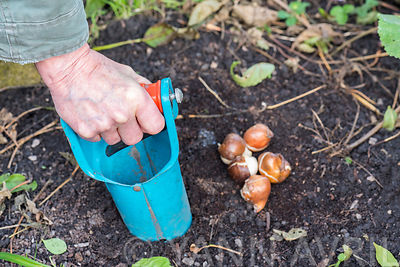 Planting tulip bulbs in a garden