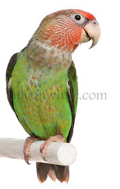 Cape Parrot, Poicephalus robustus, 8 months old, perched on pole in front of white background