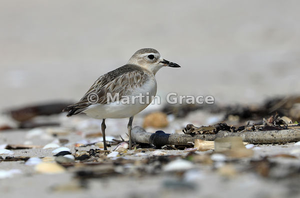 North Island subspecies of New Zealand Dotterel (Charadrius obscurus aquilonius) on Otama Beach, Coromandel Peninsula,  Auckl...