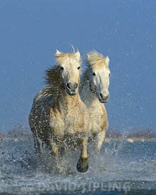 Camargue Horses running through marsh Camargue Provence France