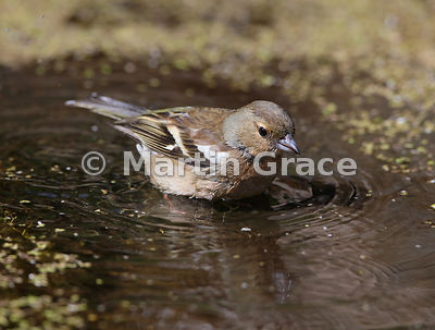 Common Chaffinch (Fringilla coelebs) female bathing in the garden pond, Lake District National Park, Cumbria, England