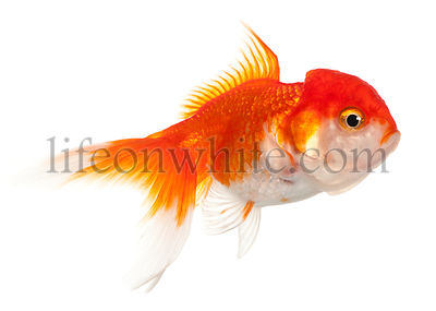 Lionhead goldfish, Carassius auratus, in front of white background
