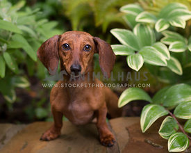 Red Smooth doxie leaning towards camera from green bushes