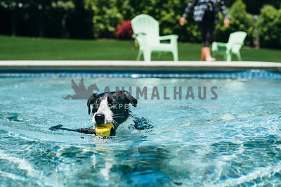 A black and white dog fetching a toy from the pool