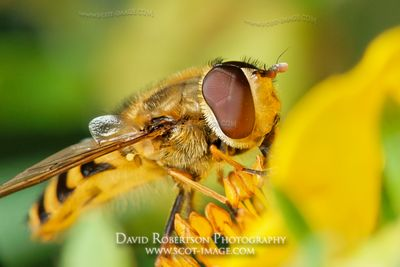 Image - A male Hoverfly feeding on a Potentila flower, Syrphidae
