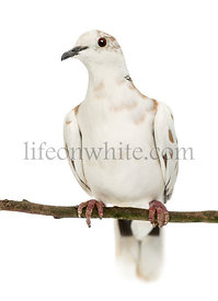 African Collared Dove perched on branch, Streptopelia roseogrisea, against white background