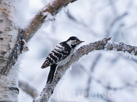 Lesser spotted Woodpecker Dryobates minor female of northern race borealis, Finnish Lapland, winter
