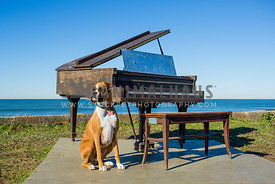 Flashy Boxer Dog Sitting Next to Piano Near the Ocean