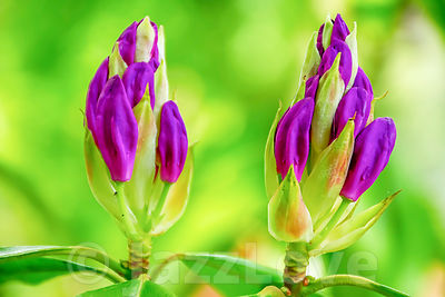 Two purple rhododendron buds on green blurred background.