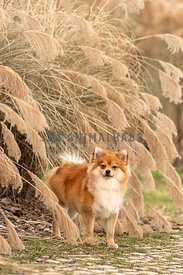 A pomeranian in front of ornamental grasses