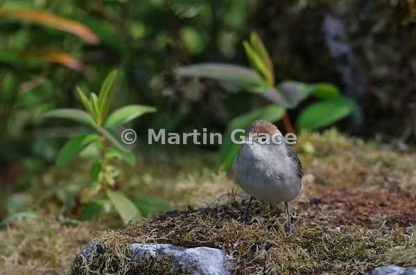 Female Eurasian Blackcap (Sylvia atricapilla), Lake District National Park, Cumbria, England