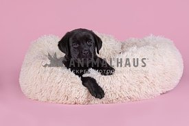 young black lab puppy laying on fluffy dog bed