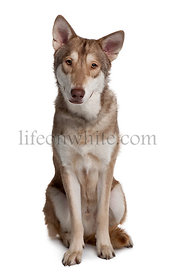 Saarloos wolfdog sitting in front of white background