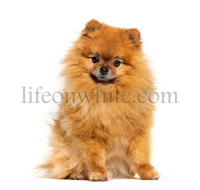 Pomeranian looking at the camera, isolated on white