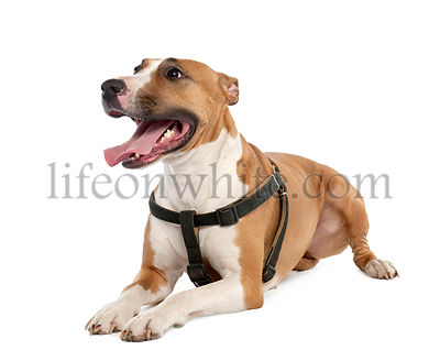 Mixed-Breed Dog between a bull terrier and a boxer  (3 years old)