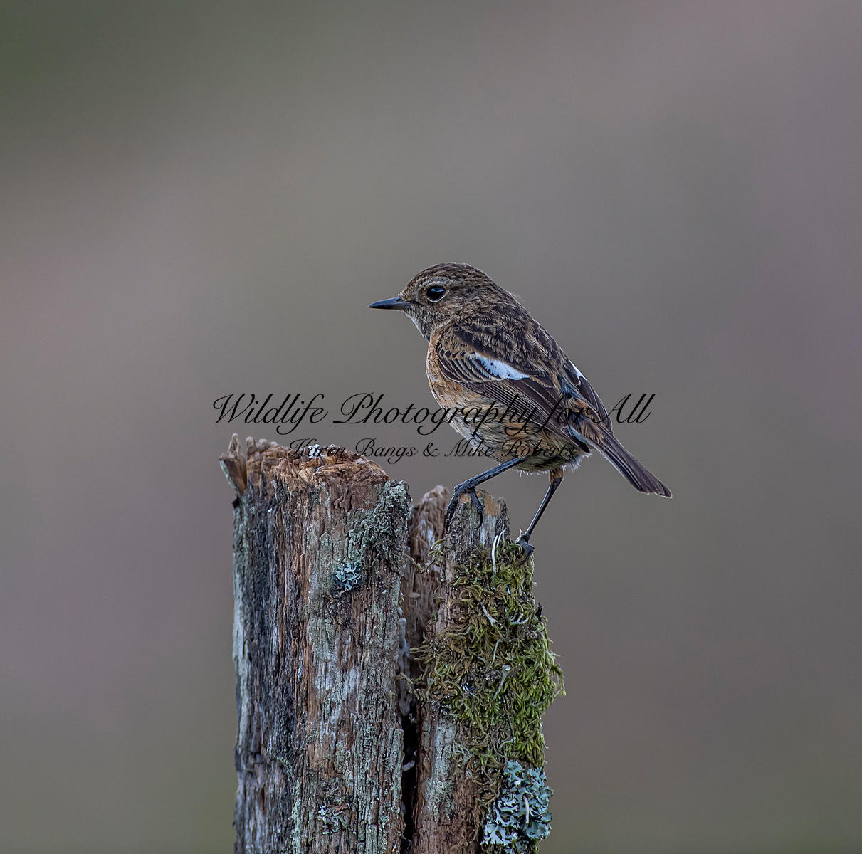 Female Stonechat - Mike Roberts