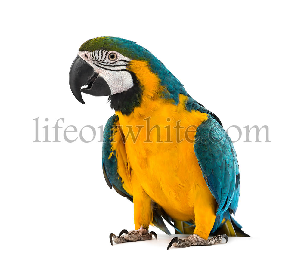 Blue-and-yellow Macaw in front of a white background