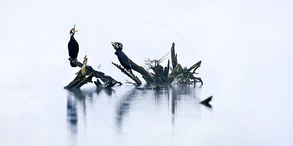 Grand cormoran - Great Cormorant (Phalacrocorax carbo)