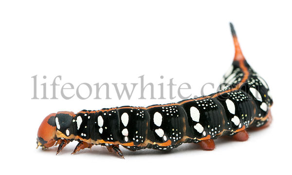 Spurge Hawk, Hyles Euphorbiae, caterpillar against white background
