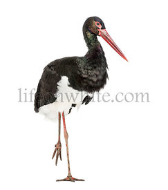 Black stork, Ciconia nigra, standing against white background