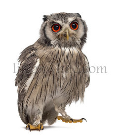 Northern white-faced owl - Ptilopsis leucotis (1 year old) in front of a white background