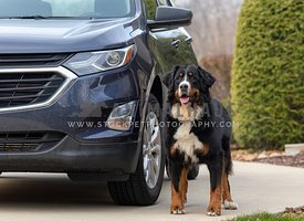 A Bernese Mountain Dog standing next to a blue SUV