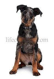 Beauceron dog, 5 months old, sitting in front of white background