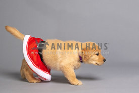 golden retriever puppy in Santa skirt