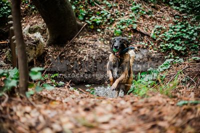A belgian shepherd retrieves a ball on a rope from the creek