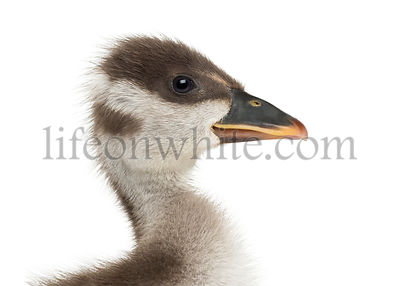Close-up of a Coscoroba swan\'s profile, Coscoroba coscoroba, isolated on white