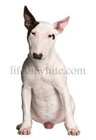 Bull terrier, 9 months old, sitting in front of white background