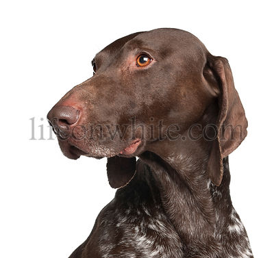 German Shorthaired Pointer, 4 years old, against white background
