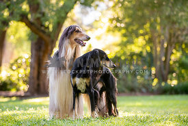 Saluki and Afghan Hound in a park looking to the side