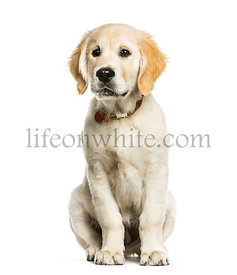 Golden Retriever, 3 months old, sitting in front of white background