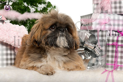 Lhasa Apso, 1 year old, lying with Christmas gifts in front of white background