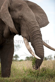 Elephant at the Serengeti National Park, Tanzania, Africa