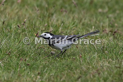 Pied Wagtail (Motacilla alba yarrellii) holding a Mealworm larva (Tenebrio molitor) in its bill, Glen Tanar, Aberdeenshire, S...