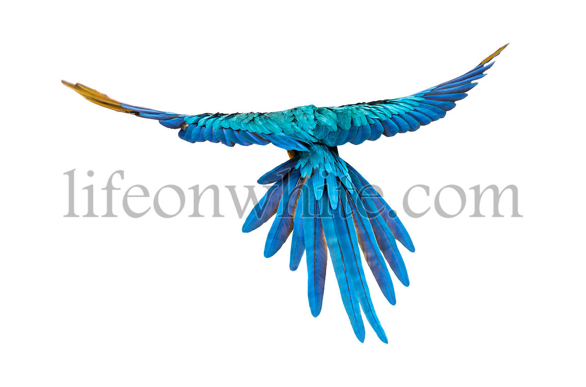 rear view of a blue-and-yellow macaw, Ara ararauna, flying, isolated