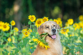 golden retriever holding sunflower in his mouth