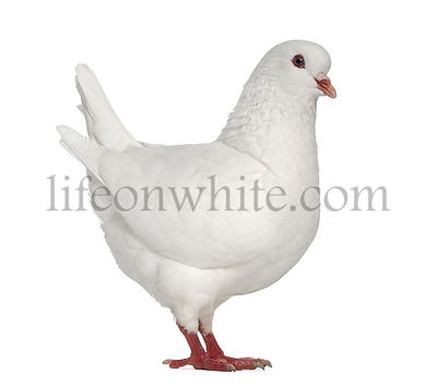 White King pigeon isolated on white