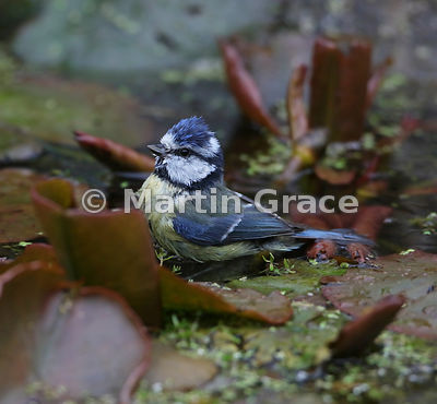 European Blue Tit (Cyanistes caeruleus) among water lily leaves in the garden pond, Lake District National Park, Cumbria, Eng...